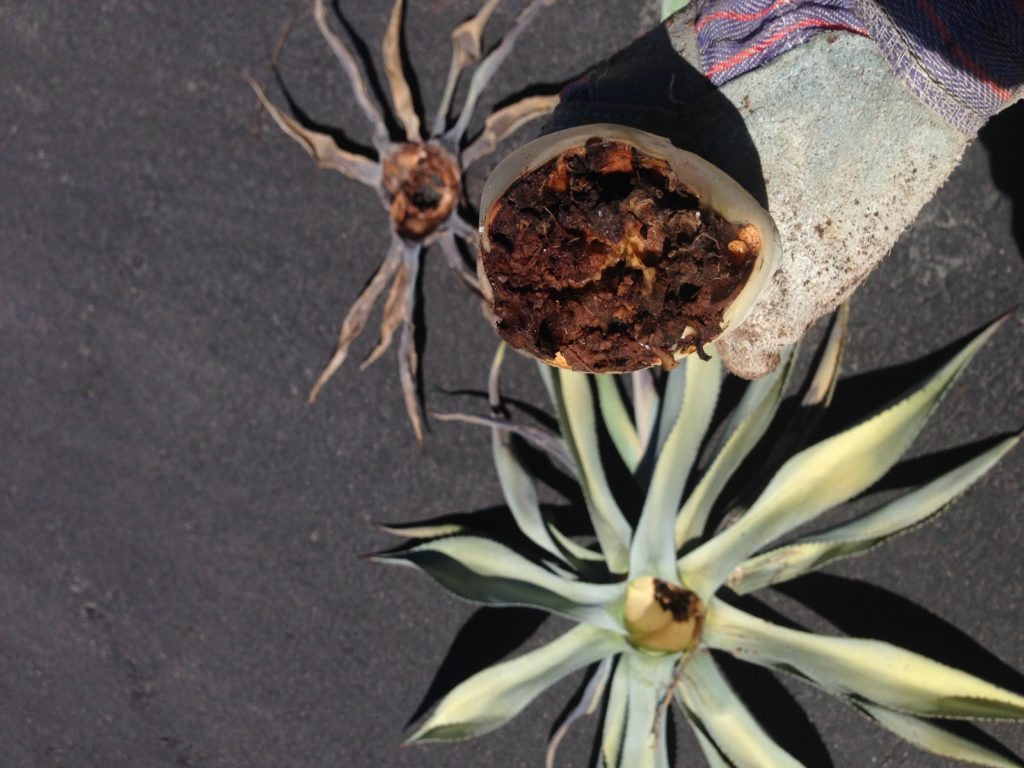 base of decayed agave stem killed by weevils